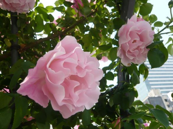 薔薇が咲き始めました